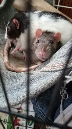 Tried to get a picture of the boys sleeping Basil woke up and gave me the cutest face! #aww #cute #rat #cuterats #ratsofpinterest #cuddle #fluffy #animals #pets #bestfriend #ittssofluffy #boopthesnoot