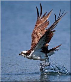 Osprey (Pandion haliaetus) One of the most widespread birds of prey, the #Osprey is found on every continent in the world except Antarctica. The osprey is also called the 'fish hawk', as it is well adapted for hunting fish. A reversible outer toe helps the osprey to carry fish while in flight. Hunting almost exclusively for live fish, the osprey plunges feet first to snatch them from the water, sometimes becoming completely submerged. #BirdsofPrey #LIFECommunity #Favorites From Pin Board #09