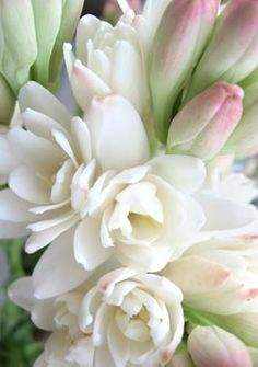 tuberose - these are the most amazing smelling flowers in the world