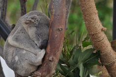 San Diego Zoo, Koala Bear