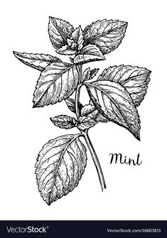 Ink sketch of mint vector image on VectorStock Nature Tattoos, Leaf Tattoos, Wiccan Sabbats, Botany Illustration, Sparrow Tattoo, Botanical Line Drawing, Black White Tattoos, Mint Plants, Drawing Sketches
