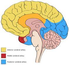 anterior cerebral artery middle cerebral artery - Google'da Ara