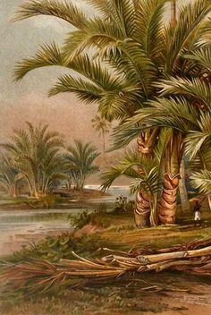 "Antique print.1898.Botanical Landscape"" Sago Palms in South Asia"".115 years old print.Botany print .9,8x6,6"".Vintage print."