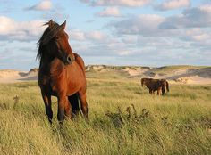 Sable Island in the Atlantic off the coast of Nova Scotia has a thriving population of wild horses. The Sable Island horses are among the few wild horse populations that are entirely unmanaged: they are not subject to any kind of human interference. Since 1961, the Sable Island horses have had legal protection under the Sable Island Regulations of the Canada Shipping Act.