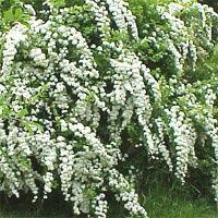 Spirea Japonica Bridal Wreath for our front door jenhenderson514