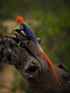 Namib Lizard