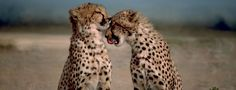 How much do you know about cheetahs? [Quiz] | OUPblog