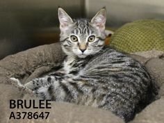Brulee & Mandy (ID: A378647 & A378646) are sweet and friendly kittens that have been in a great Toni's Kitty Rescue foster home while getting big enough for adoption. They are ready and waiting to meet you! Come meet and adopt these 2 adorable girls and consider adopting them together!!