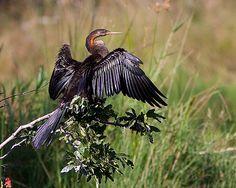 Mergulhão-serpente / African darter | Flickr - Photo Sharing!