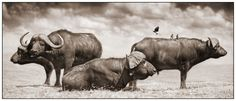 Cape buffalo photograph by Nick Brandt