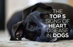 The TOP 5 Signs Of Heart Disease In Dogs... MUST READ!