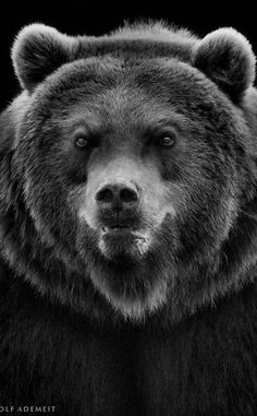 (via 500px  The Angry Bear By Wolf Ademeit)