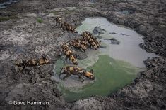 Pack of wild dogs drinking from a muddy pool at Chitabe camp, Okavango delta, Botswana African Wild Dog, Okavango Delta, Wild Dogs, Planet Earth, Wildlife Photography, Predator, Wilderness, Safari, Camping