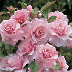 Pink Flowers : Rose – Our Lady Floribunda - Flowers.tn - Leading Flowers Magazine, Daily Beautiful flowers for all occasions My Flower, Pretty Flowers, Pink Flowers, Red Roses, Pink Petals, Cactus Flower, Exotic Flowers, Yellow Roses, Colorful Roses