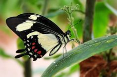 Papilio torquatus / The Torquatus Swallowtail (Papilio torquatus) is a butterfly of the Papilionidae family. It is found from northern Argentina to Mexico. / The wingspan is 75–80 mm. Adults strongly resemble Papilio garleppi. / The larvae feed on the leaves of Citrus species. Full-grown larvae are mottled in dull tones of brown, greenish-yellow and whitish. It resembles a bird dropping. / Source: Wikipedia / Featured in If It Doesn't Belong On April 24&#x2F...