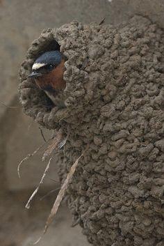 Cliff Swallow (Petrochelidon pyrrhonota)   by evimeyer