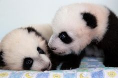 Who are you again?  #ZAPandaCubs