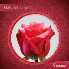 Category: Hot Pink Name: Nature's Cherry Distinctiveness: Bicolor hot pink with lighter shades of pink on the center Organic Roses from Ecuador, unique is just the beginning! Organic Roses, Light Shades, Ecuador, Lighter, Hot Pink, Cherry, Unique, Nature, Naturaleza