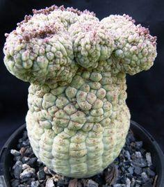 Larryleachia cactiformis