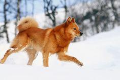 Finnish Spitz Dogs And Puppies Best Medium Sized Dogs, Medium Sized Dogs Breeds, Medium Dogs, Spitz Dog Breeds, Spitz Dogs, Rare Dogs, Rare Dog Breeds, Most Beautiful Dog Breeds, Labrador Retriever