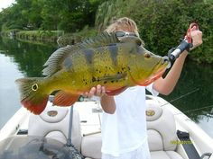 The Peacock bass a beautiful fish not actually part of the bass family. Learn to fish Usa Fishing, Fishing Kit, Gone Fishing, Fishing Tackle, Fishing Guide, Fishing Boats, Giant Fish, Big Fish, Fly Fishing Equipment