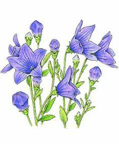 This website has lots of watercolor botanicals inspiration - Kitchen Garden Seeds Platycodon (Balloon flower)