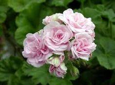 """Résultat de recherche d'images pour """"Géranium zonale Bouton de rose Appleblossom"""""""