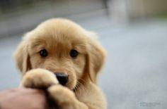 """cute golden retriever """"hey you!"""""""