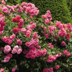 Freedom Hedge Rose