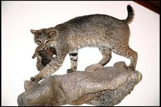 Bobcat Mounts - by Bowsite.com Bowhunting - Printable