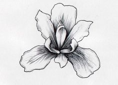 iris drawing - Google Search