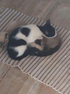 Minha louca doce paixão por gatosl Os primos dos meus Gatos        Lindos!!! Felinos na família