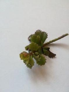 Zöld pozsgás növény