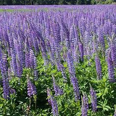 Perennial Lupine Seeds from American Meadows, your trusted source for .  We offer gardeners guaranteed Perennial Lupine Seeds and all the information and confidence needed to succeed.