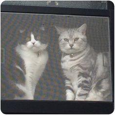 🐾 ・ プロフィール写真にしてたこの写真 3年3カ月前のだった ・ 今じゃ先に上がった者勝ちの場所 ・ ここ1年程 2匹一緒は見なくなったな… ・ #いったい何があったのか  #お気に入りの場所 #争奪戦 #おデブちゃん時代 #過去pic  #アメリカンショートヘア  #スコティシュフォールド  #アメショ #スコ #スコ部  #ねこ #にゃんこ #猫 #愛猫  #ペット #ちゅん #くぅ #americanshorthair #scottishfold #tomcat  #cat #neko #pet #kitty  #catstagram #instacat  #아메리칸쇼트헤어 #고양이  #스코티시폴더 #애완동물그램