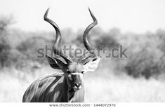 Find Kudu Large Horns Black White stock images in HD and millions of other royalty-free stock photos, illustrations and vectors in the Shutterstock collection. Thousands of new, high-quality pictures added every day. White Stock Image, Horns, Vectors, Photo Editing, Wildlife, Royalty Free Stock Photos, Illustrations, Black And White, Artist