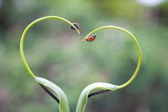 Two ladybirds on a plant in Biei, Hokkaido, Japan