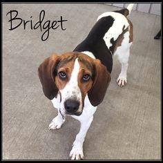 Treeing Walker Coonhound dog for Adoption in Jasper, IN. ADN-532557 on PuppyFinder.com Gender: Female. Age: Adult