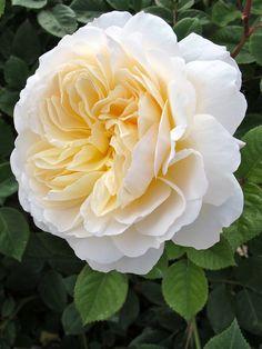 Rosa 'Crocus Rose'