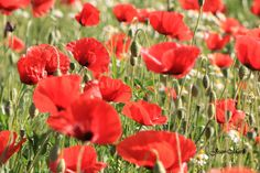 Coquelicots - jean-marie