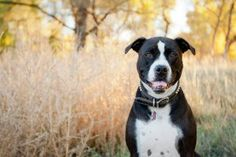 October is National Pit Bull Awareness Month--hooray! It's a month to celebrate Pit Bull type dogs, bust myths about these breeds, and promote adoption of Pit Bulls. Here's how you can celebrate! Rescue Dogs, Pet Dogs, Dogs And Puppies, Pets, Doggies, Chihuahua Dogs, Shelter Dogs, Animal Shelter, Animal Rescue