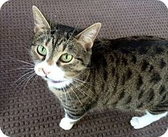 Pictures of Mama Mia a Domestic Shorthair for adoption in Oak Ridge, TN who needs a loving home.