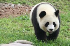 #lively #panda