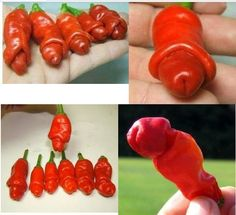 "Pecker shaped Garden plants ""Peter Pepper Seeds"" red hot chili peppers 50 seeds/packhttps://goo.gl/TPD34c  #awesomesauce"