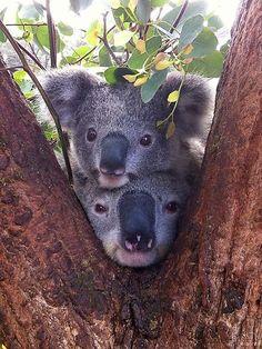 Top 10 Tourism Australia Facebook snaps Cute alert! Koalas captured at Sydneys Taronga Zoo. Photo: Taronga Zoo keeper Tony Britt-Lewis