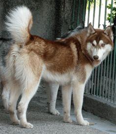 Eve's Red Siberian Husky Apollo