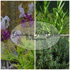 Growing a Herb Garden For Beginners. If you aren't sure where to start see my guide on easy to grow, popular herbs to help you make the most of your kitchen garden http://dld.bz/e2uDz