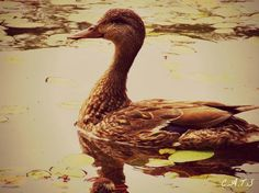Duck - Stoney Lake.