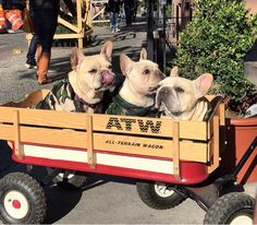 French Bulldogs on Parade.