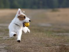 Jack Russell Terrier plays ball